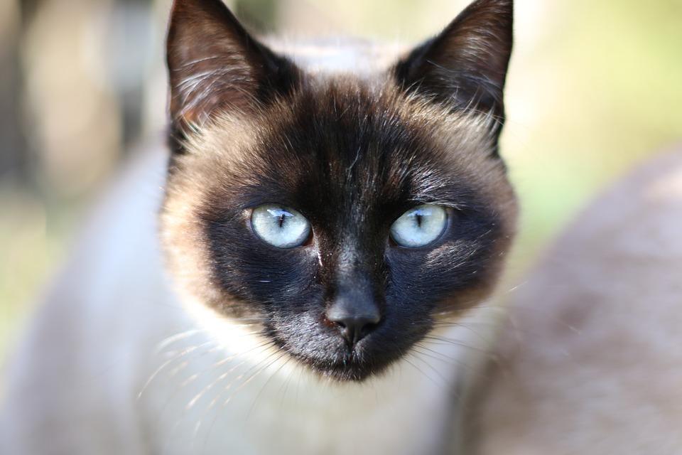 Сколько живут сиамские кошки в домашних условиях?