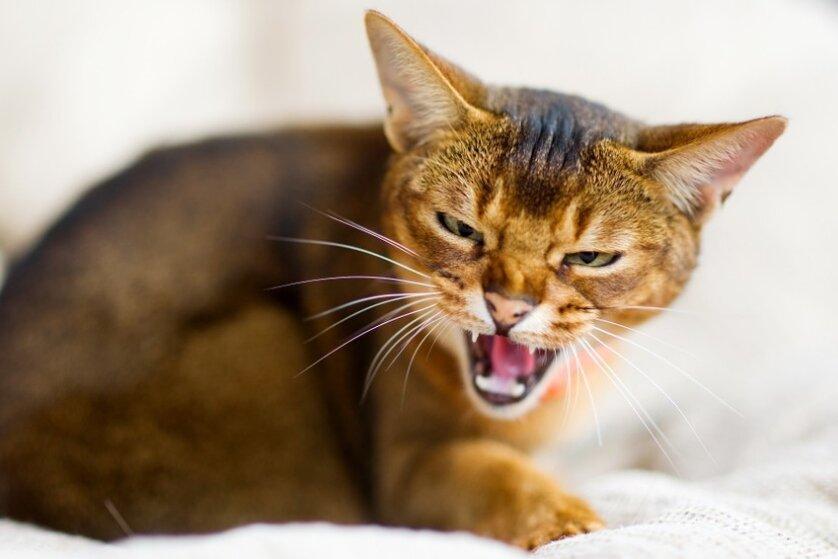 Кошка рычит и шипит без причины, кусается и ведёт себя агрессивно
