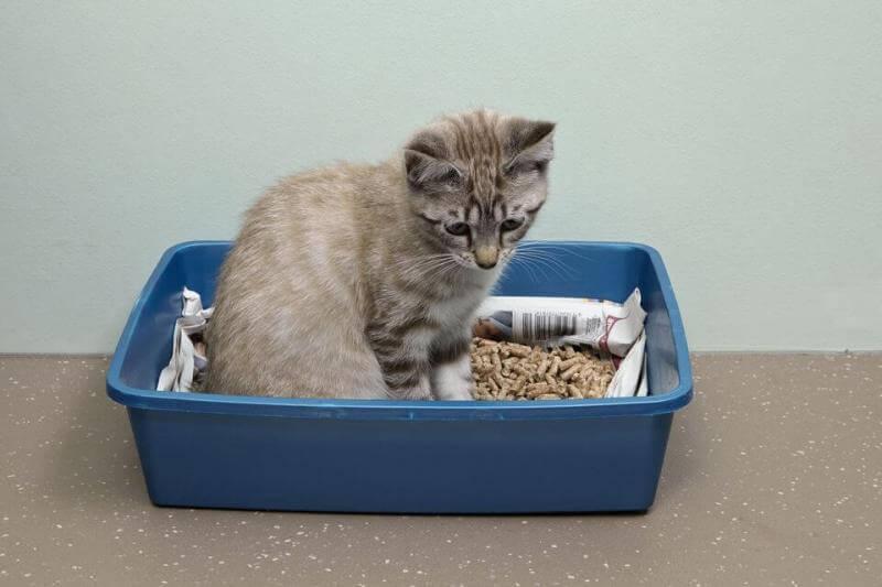 Как приучить котенка ходить в лоток: гарантированный результат за короткое время