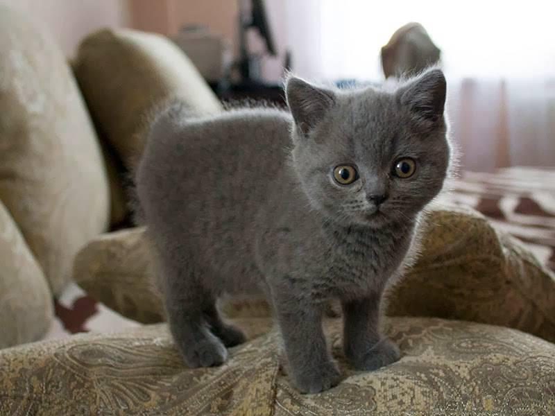Имена для британских кошек и котов | сайт «мурло»
