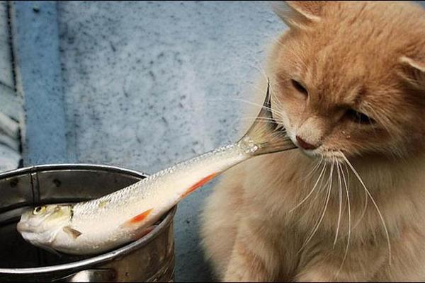 Кормление кошек рыбой - как правильно кормить и чем вредна рыба для кошек | caticat.ru
