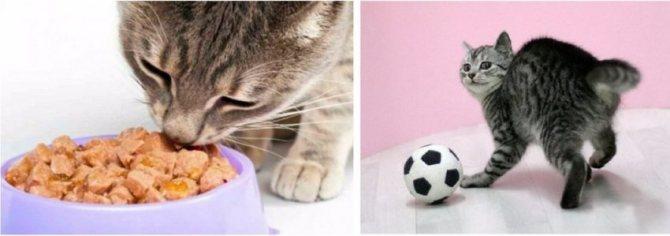 Что делать, если кошка подавилась костью или другой едой?