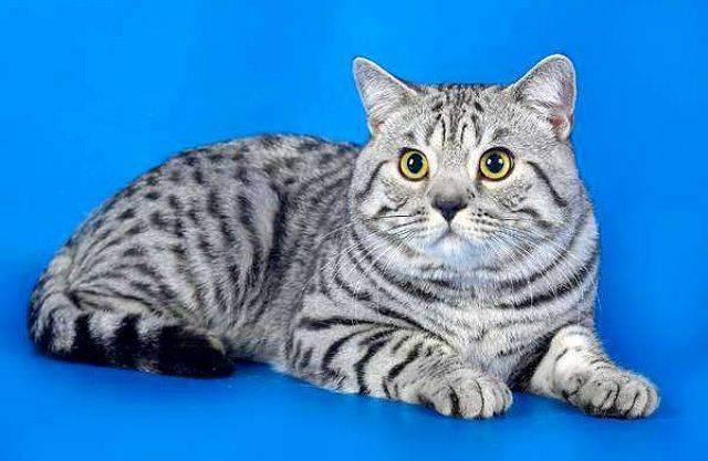 Сколько живут британские кастрированные коты