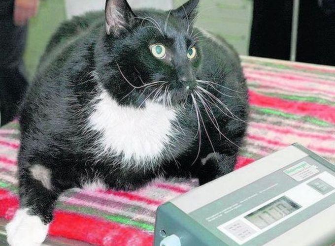 Сахарный диабет у кошек: симптомы, лечение, причины, диета, корм