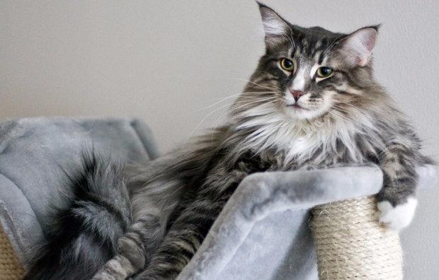 Самая большая порода кошек в мире: описание, фото, рейтинг