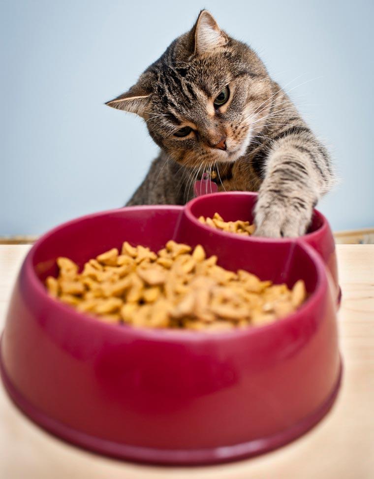 Кошка стала много есть - стоит ли беспокоиться?