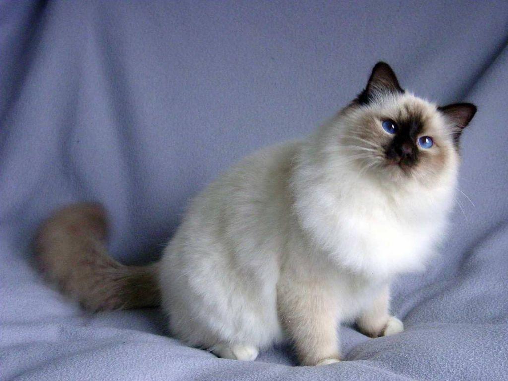 Бирманская кошка: описание породы, содержание, стоимость,