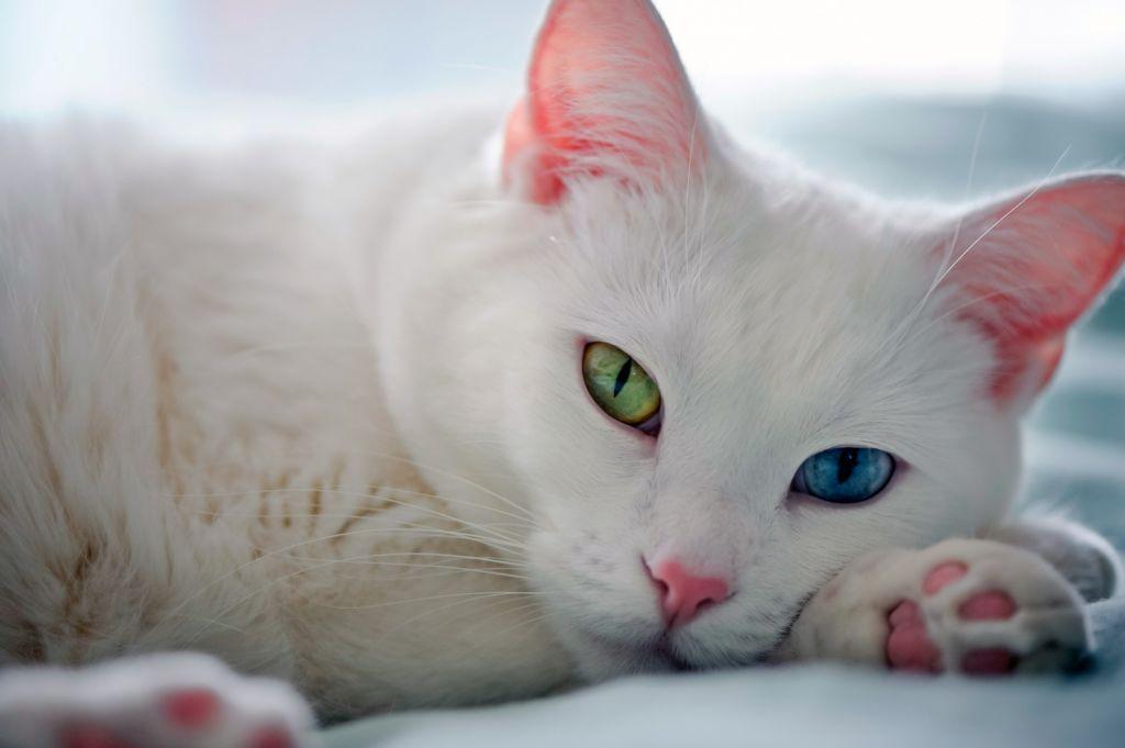 Белый кот с разными глазами
