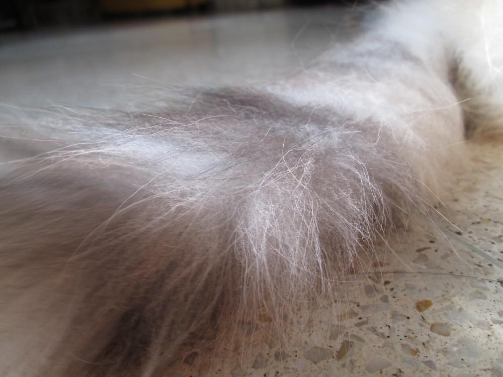 7 причин почему у кота лысеет хвост - симптомы и лечение