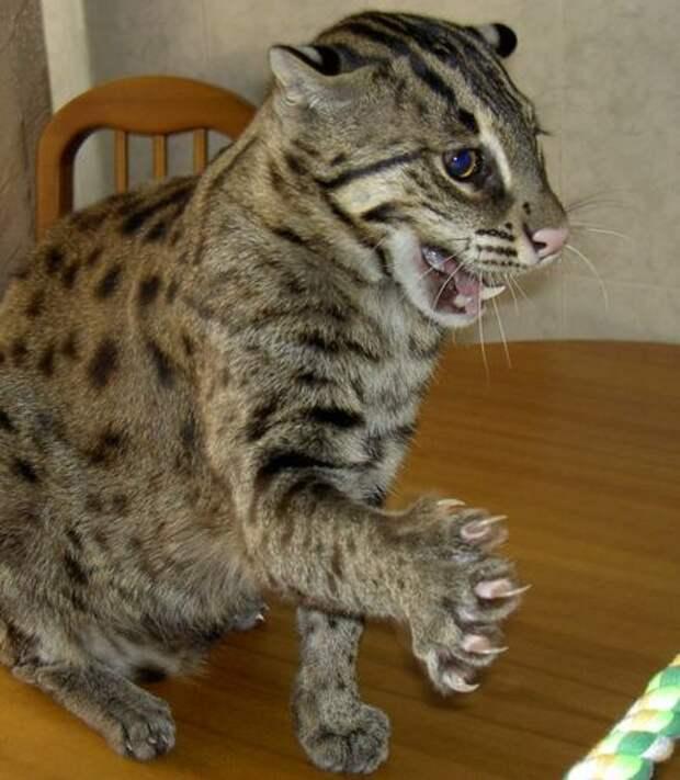 Кошка-рыболов (виверровый кот-рыболов): фото, видео, цена, описание породы