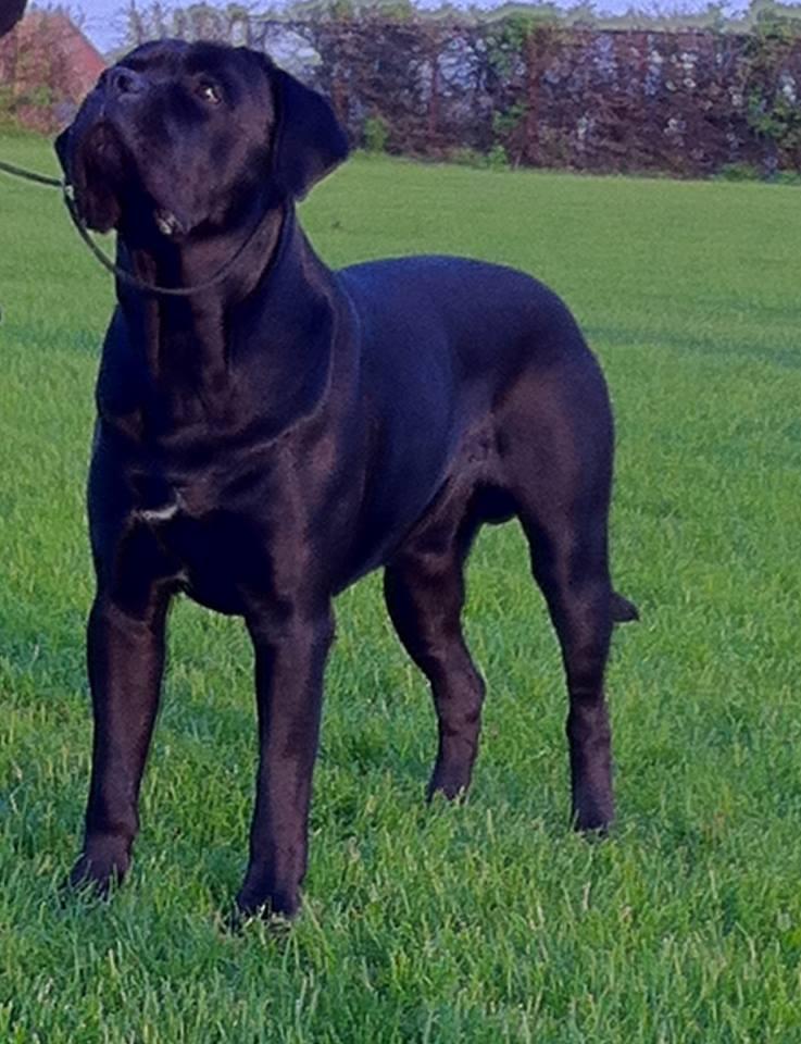 Кане корсо: вес и рост щенка по месяцам, размеры взрослой собаки и высота в холке, а также таблица данных питомца