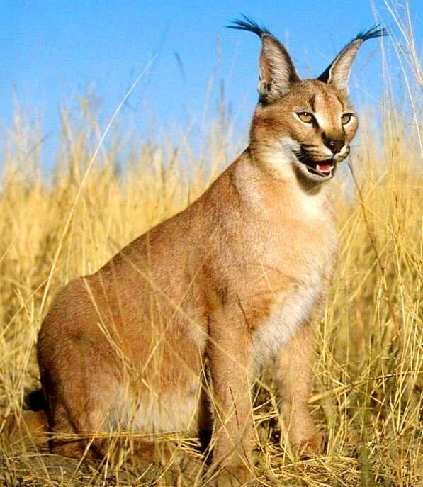 Описание породы кошек каракал