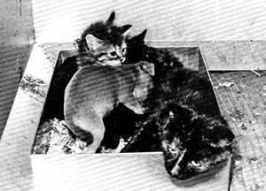 Участвовать в кошачьих выставках или нет
