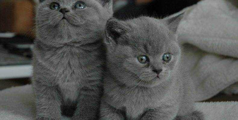 Особенности характера британских кошек