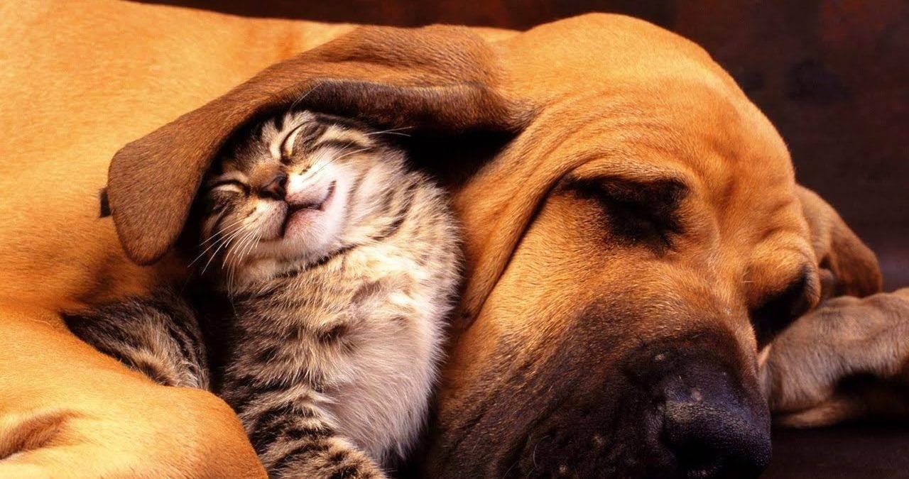 Пять пород собак, уживающихся с кошками. какие собаки уживаются и дружат с кошками какие собаки уживаются с котами