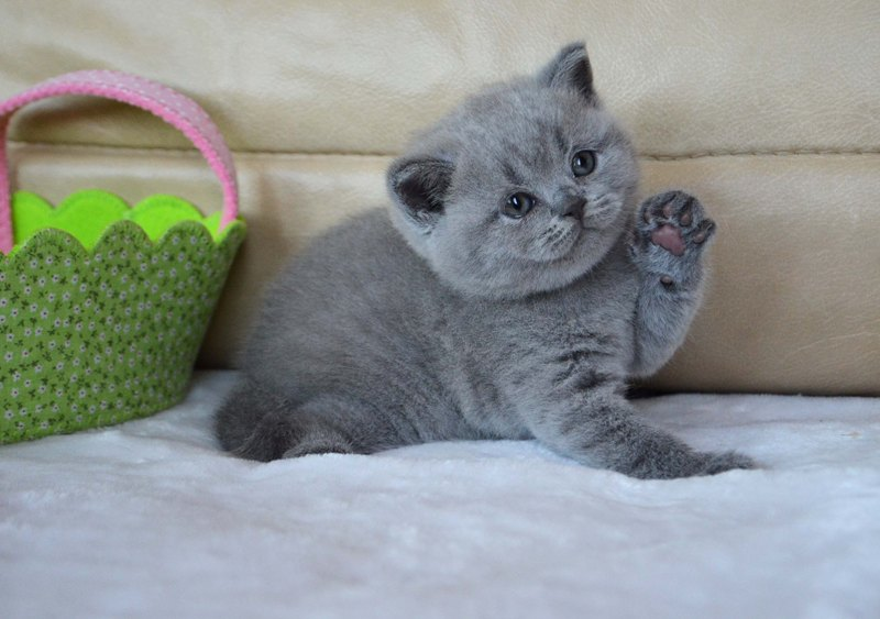 Купить британского котенка в москве   британцы по отличной цене, недорого