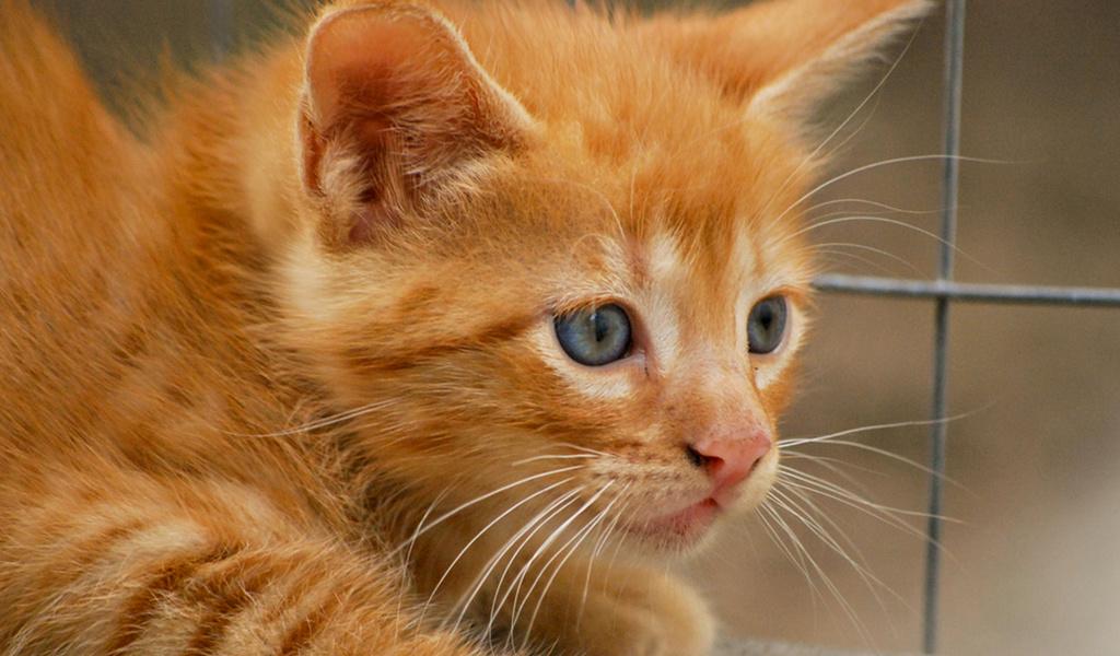 Рыжие кошки.