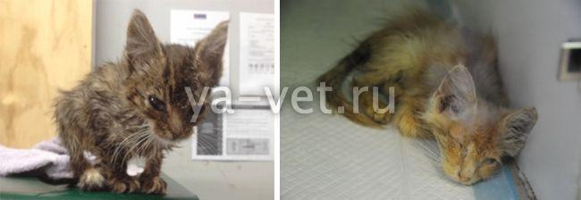 Панлейкопения у кошек: симптомы и лечение опасного заболевания