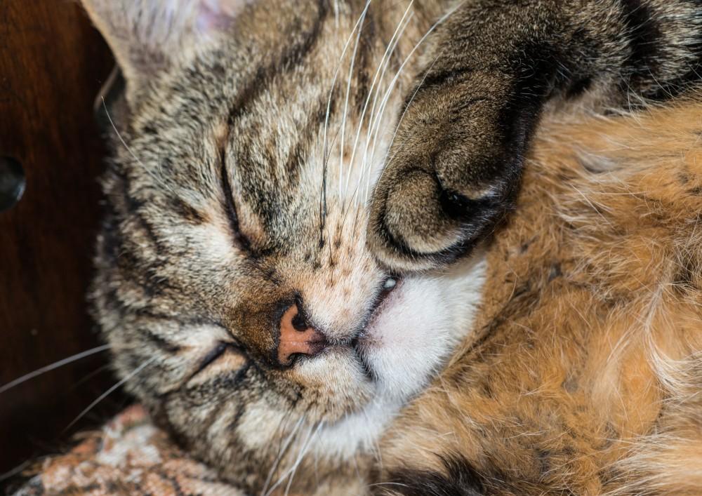 Что делать, если у кошки горячий нос