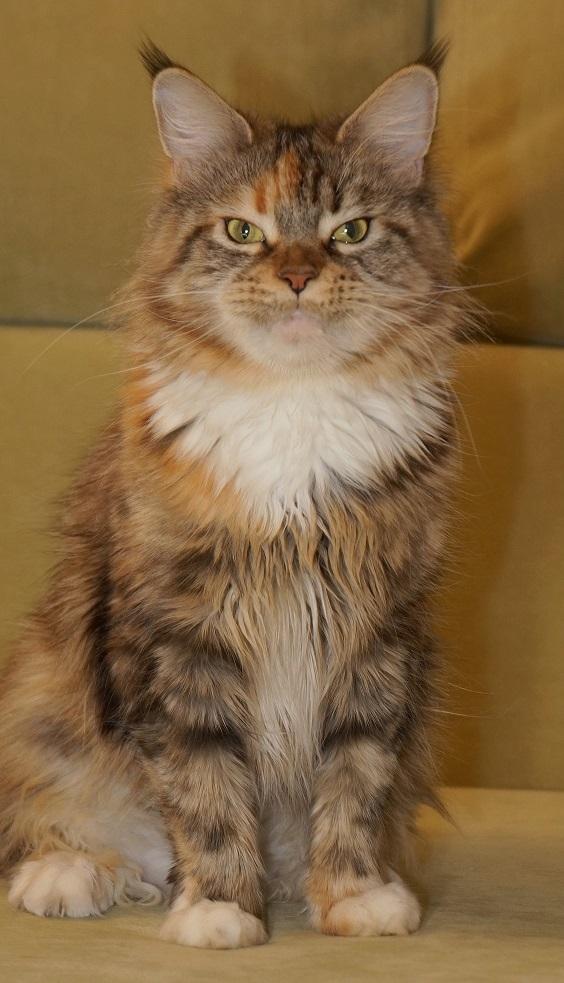 Сколько лет живут кошки (британские, мейн-куны, персидские, сиамы)