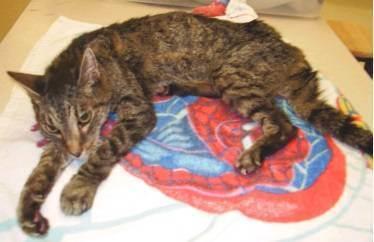 Гипертиреоз у кошек: причины возникновения и лечение недуга. гипертиреоз у кошек — причины, симптомы, лечение