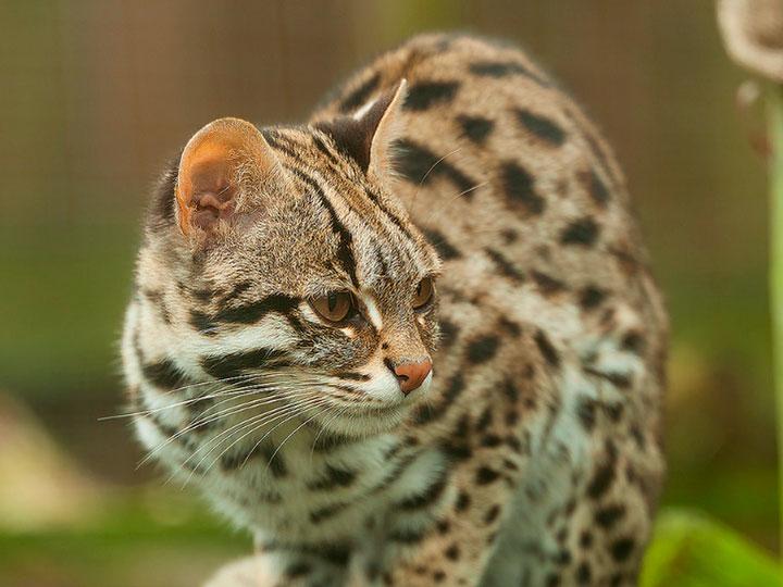 Азиатская леопардовая кошка: усатый охотник из тропиков