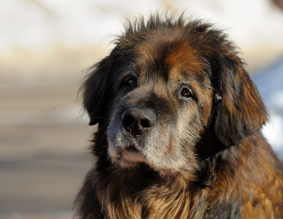 Леонбергер: особенности породы и правила содержания собак