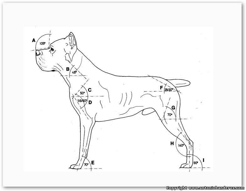 Кане-корсо: описание. стандарт породы fci кане-корсо