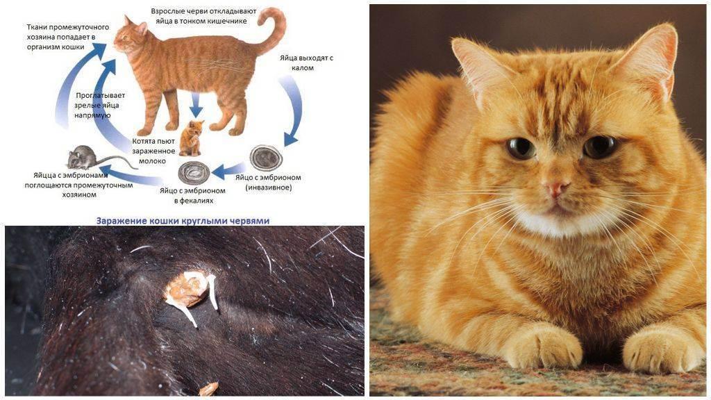 Глисты у кошек — возможность заражения у домашней кошки