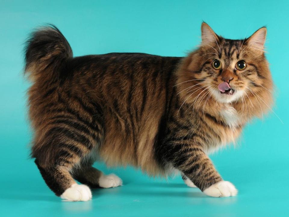 Породы кошек без хвоста: список пород | zdavnews.ru