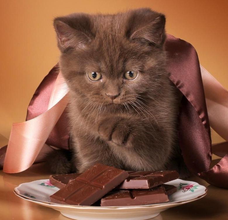 Можно ли кошкам сладкое: чем опасны шоколад и мороженное?