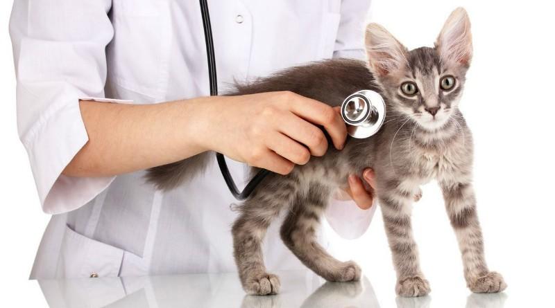 Мастопатия у кошки лечение народными средствами - муркин дом