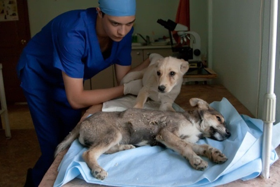 Парвовирусный и короновирусный энтерит у собак: симптомы и лечение.