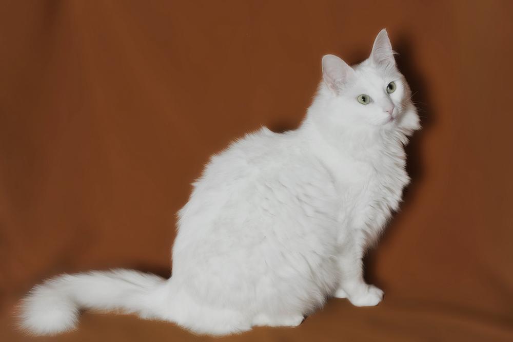 Разведение ангорских котов: описание породы, цены