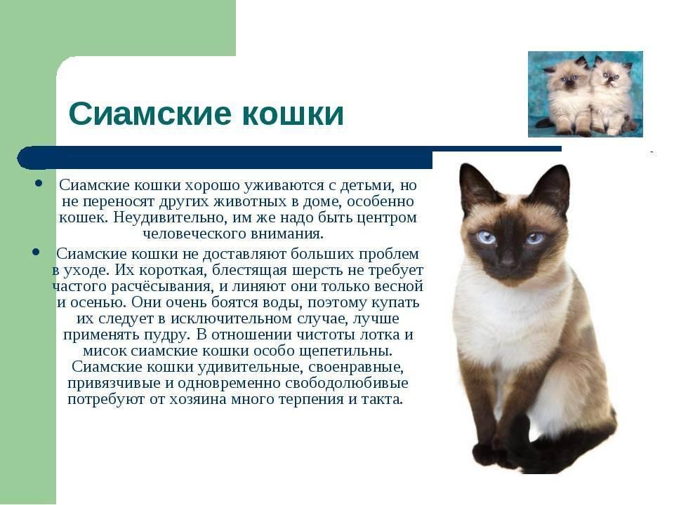 Тайская кошка: фото, характер, вся инфрмация про тайские кошки