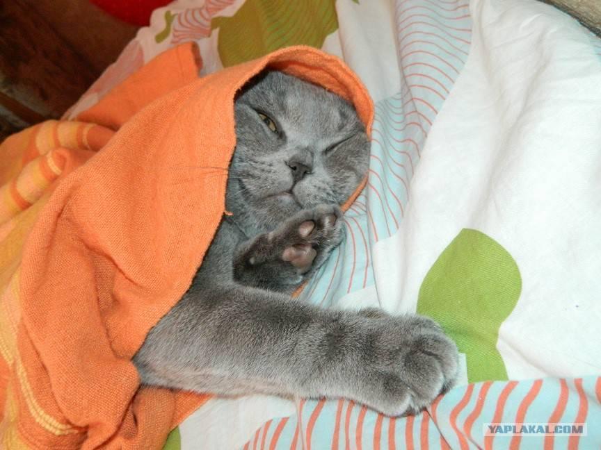 Почему шотландский и британский кот сопит и храпит во сне? почему кот или кошка сопит носом при дыхании мой кот храпит во сне.