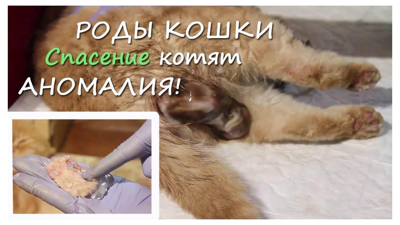 Роды у кошки: признаки, осложнения, как помочь кошке принять роды