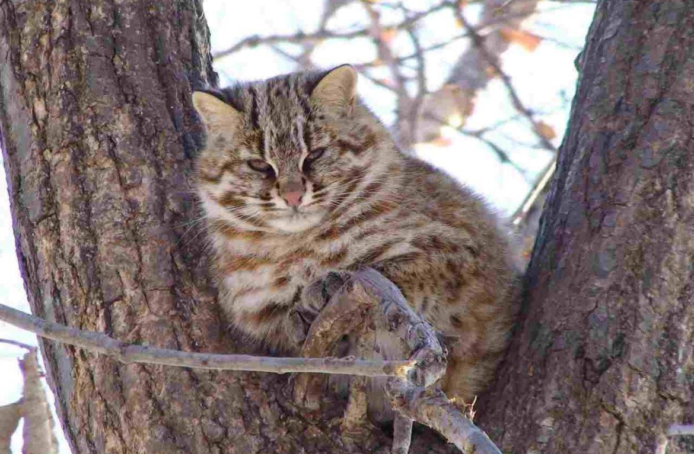 Амурский лесной кот: описание вида