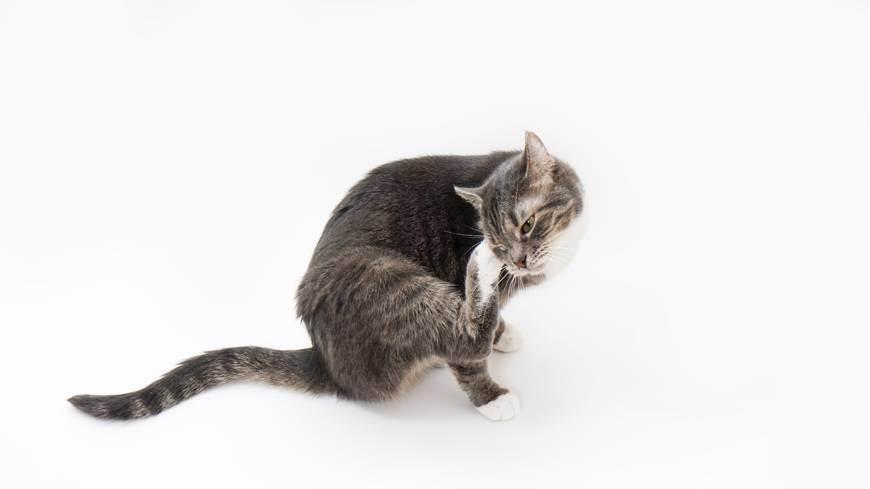 Кот британец аллергия