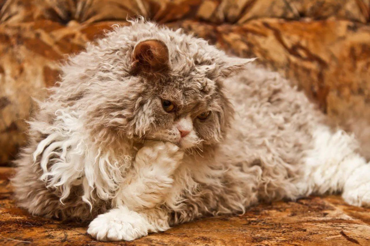 Кудрявые породы кошек и котов   фото