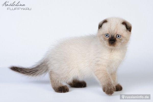 Сиамская кошка: стандарты породы, характеристики и особенности кошки (105 фото и видео)