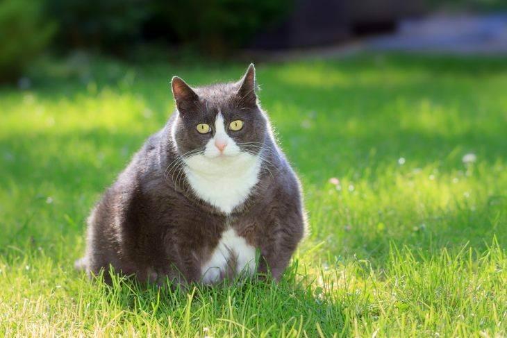 Липидоз печени у кошек.