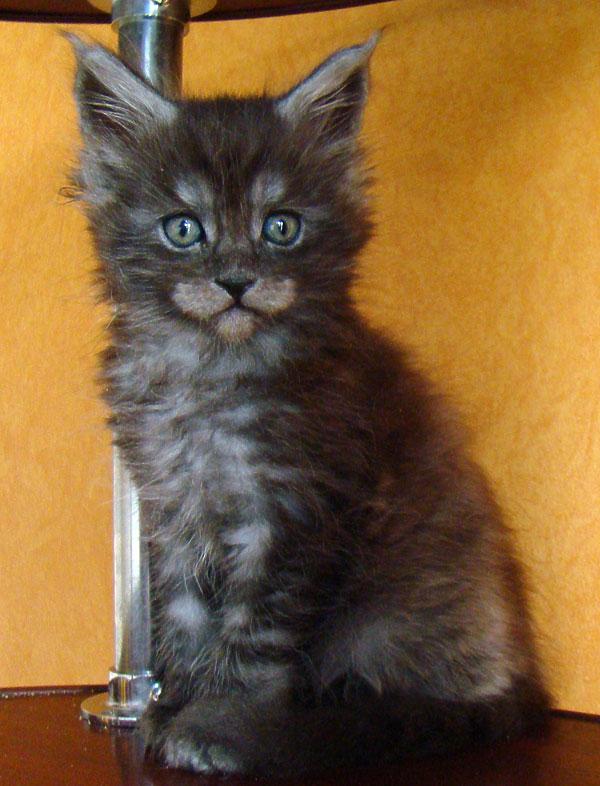 Чем кормить мейн куна котенка: рацион на каждый месяц