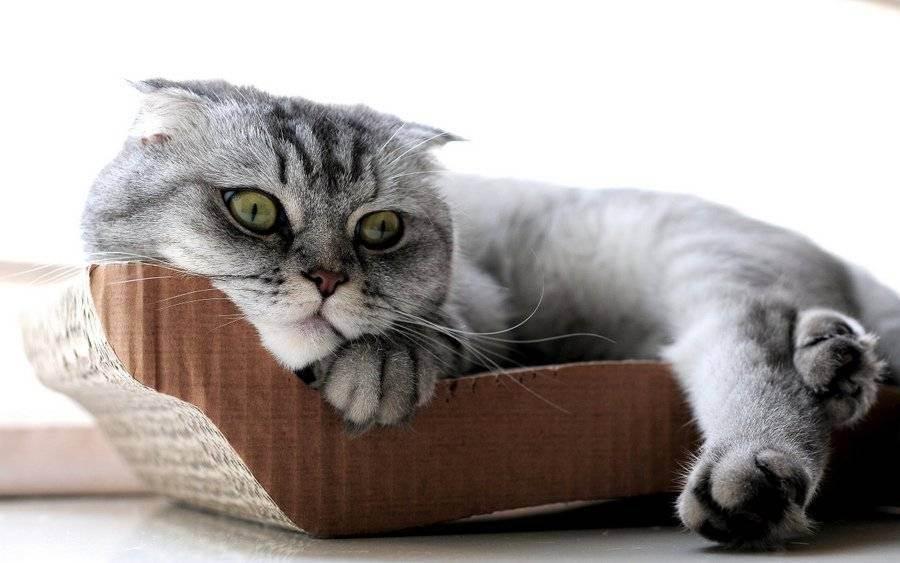 Груминг – уход за шерстью шотландских кошек