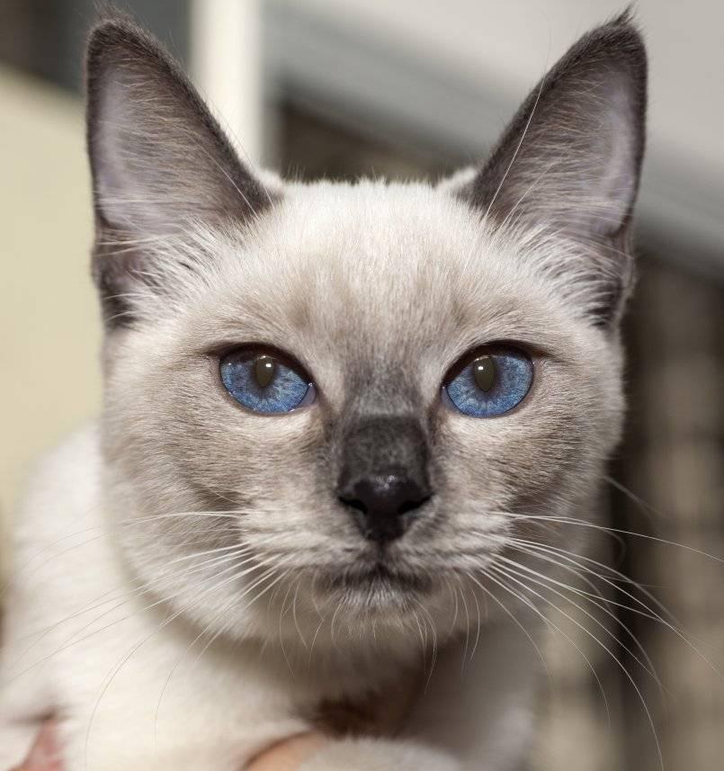 Тайская кошка: покупка и здоровье котенка (фото), сколько стоит котенок тайской кошки? в каком возрасте забирать тайского котенка в дом? на что обратить внимание при покупке тайской кошки? какое здоро
