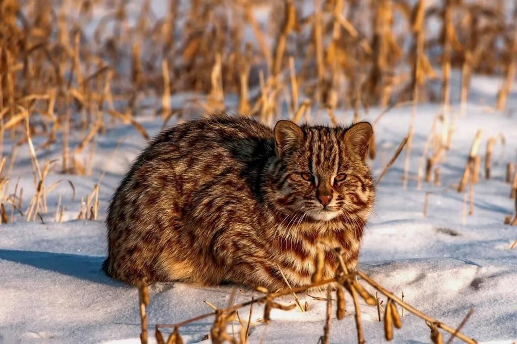 Дальневосточный лесной кот