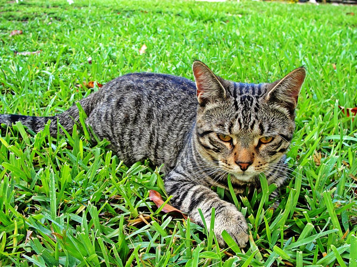 Серый полосатый кот — описание породы