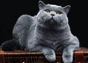 От чего слезятся глаза у британских котят