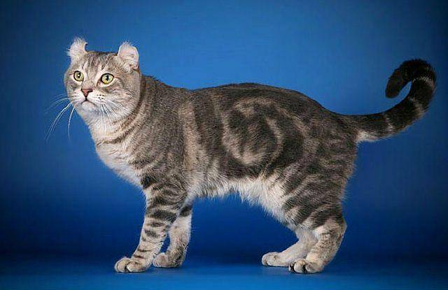 Породы кошек с коротким хвостом