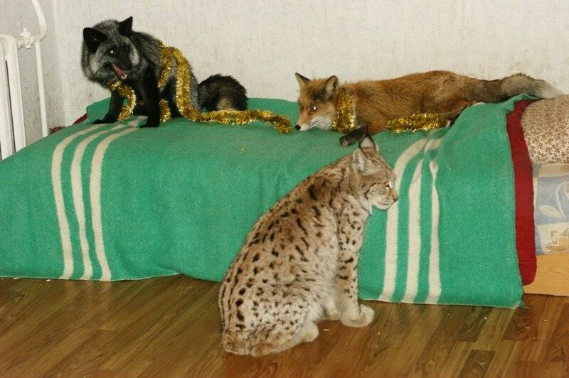 Дикие домашние кошки: каких кошачьих можно держать в условиях дома или квартиры?